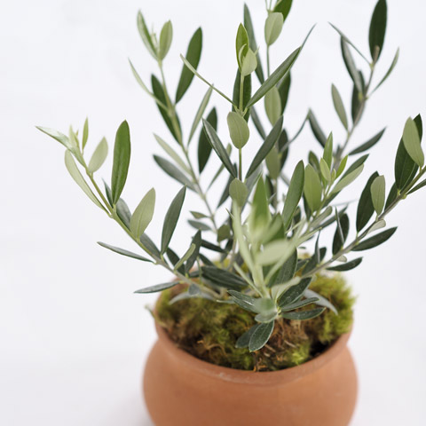 all gifts mediterranean olive tree