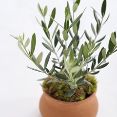 Mediterranean Olive Tree